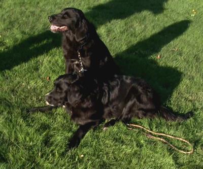 İri ırk köpeklerin eğitiminin önemi nedir?