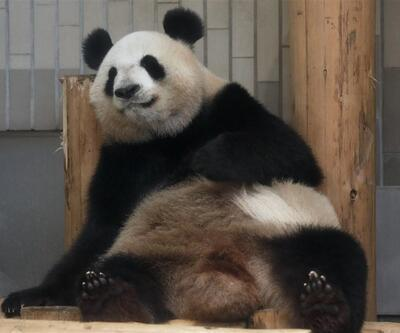 Tokyo'da 5 yıl sonra dev panda doğdu