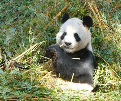 Çinli panda Fransa'da ikiz doğurdu