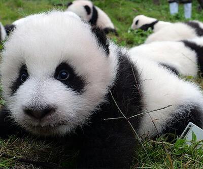 Panda yavruları görücüye çıktı