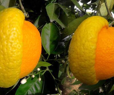 Yarısı limon yarısı portakal