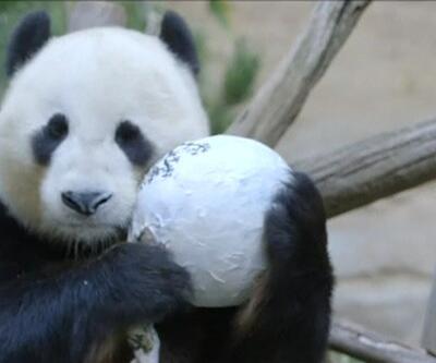 Dev pandanın doğum günü
