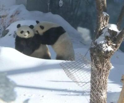 Pandaların kar keyfi