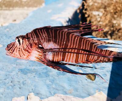 Ege'de zehirli aslan balığı alarmı
