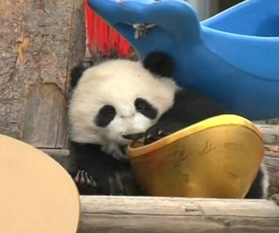 Pandalara yeni yıl sürprizi