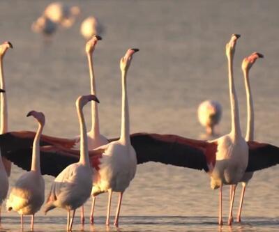 İzmir'de flamingolar kur dansı yaptı, doğaseverler o anlara tanıklık etti