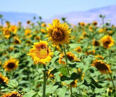 Malatya'daki ayçiçeği tarlalarında görsel şölen