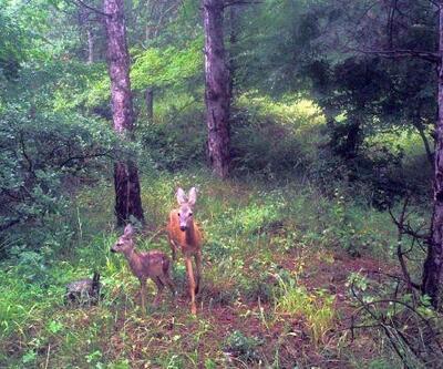 Yaban hayvanları fotokapanla görüntülendi
