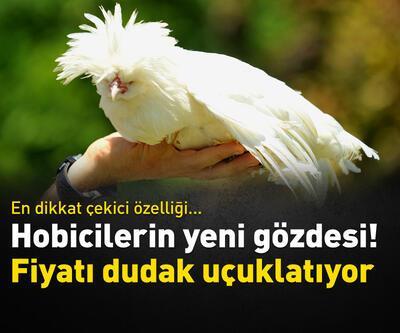 Bu tavukların fiyatı dudak uçuklatıyor
