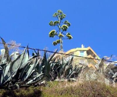 Dünya kültür mirası listesinde bulunan Agave Silivri'de açtı