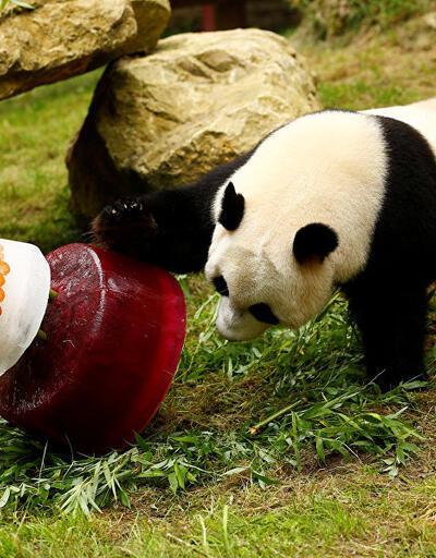 Hollanda'ya Çin'den hediye gelen sevimli panda 4 yaşına girdi!