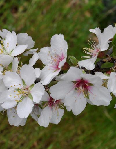 Tarihi yarımadada ilk: Datça Badem Çiçeği Festivali