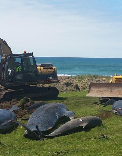 Yeni Zelanda'da 1 hafta içinde 200 balina kıyıya vurdu