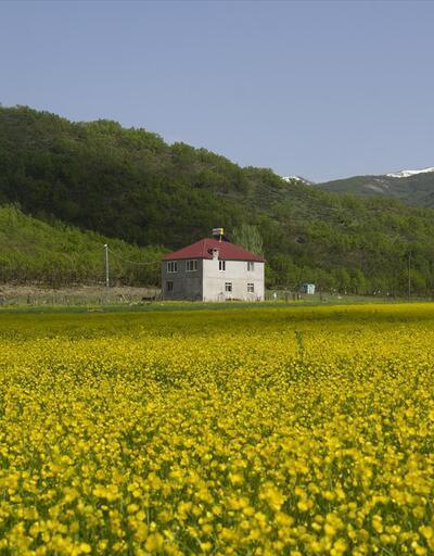 Düğün çiçekleri Ovacık'ı sarıya boyadı