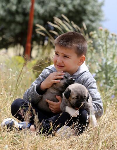 Kangal köpekleri ile birlikte iç içe yaşam