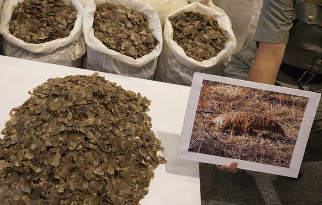 En çok yasa dışı ticareti yapılan hayvan: Pangolin