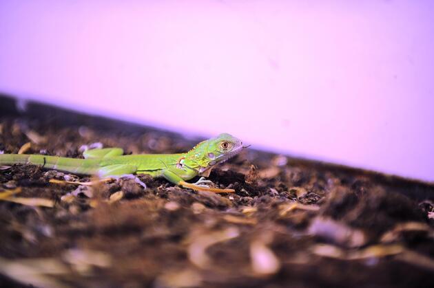 Bursa Hayvanat Bahçesi'nde yavru iguana heyecanı