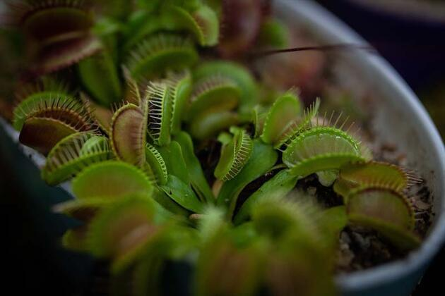 Sevimli durduklarına bakmayın! Bu bitkiler 'et'le besleniyor