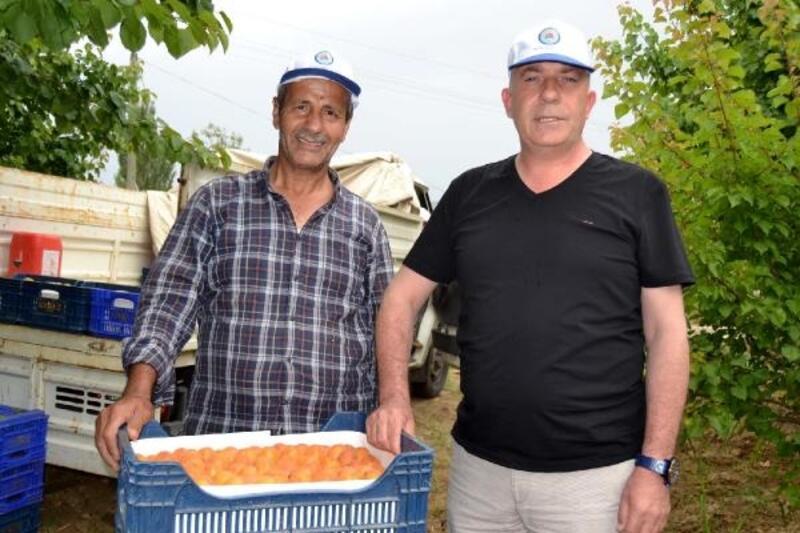 Salihli'de erkenci kayısının hasadı başladı