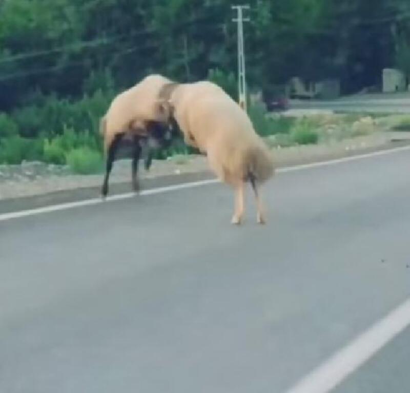 Yolda iki koçun tokuşması kamerada
