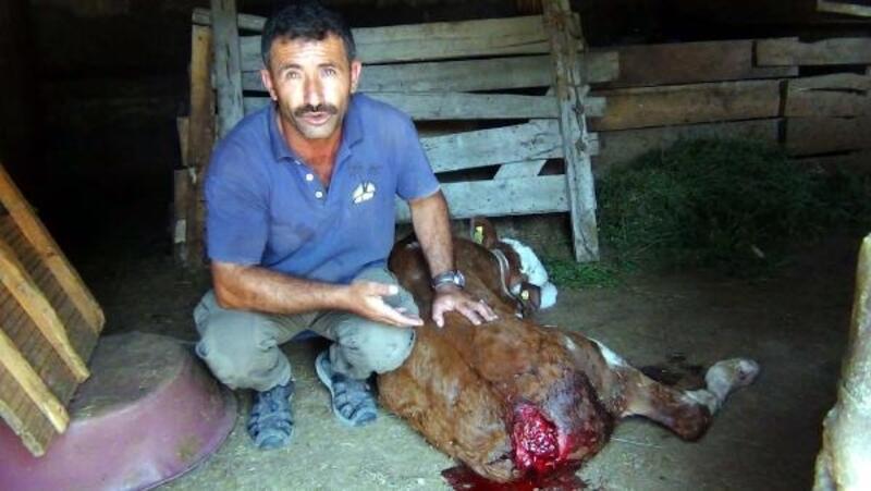 Erciş'te köpekler 2 buzağıya saldırdı