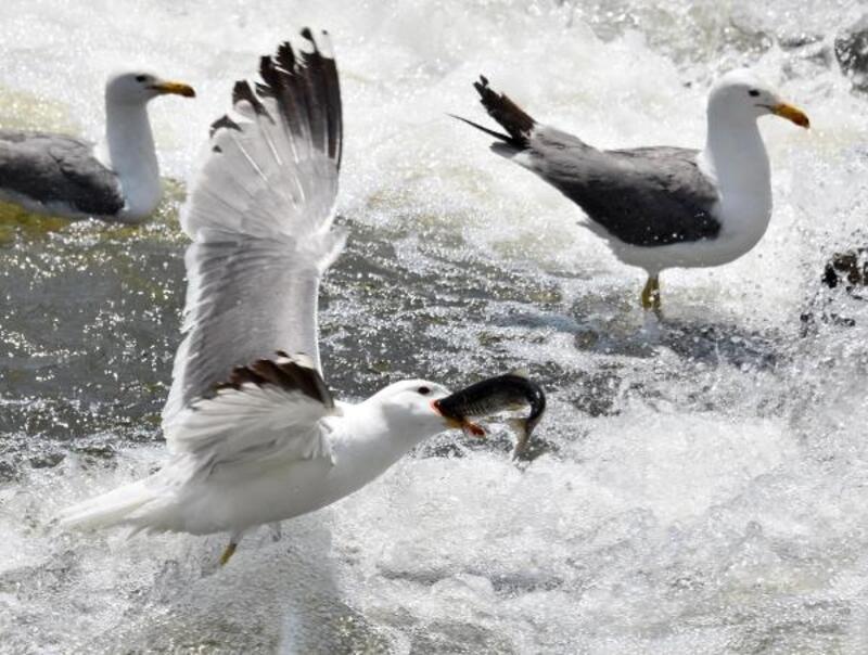 Martılar inci kefali avında