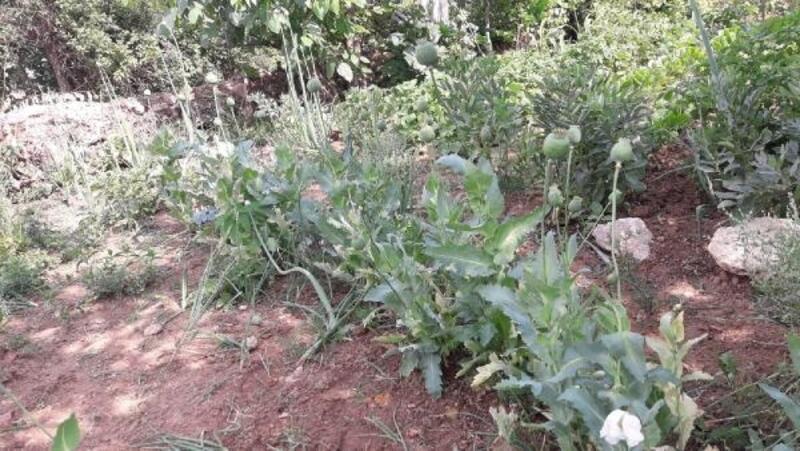 Tokat'ta kaçak ekilen 114 kök haşhaş bitkisi ele geçirildi