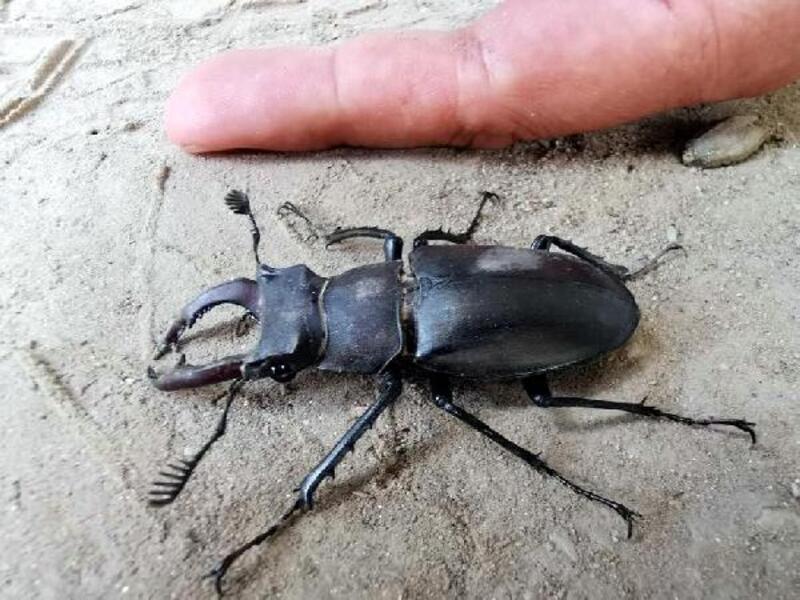Nazilli'de altı taraklı geyik böceği bulundu