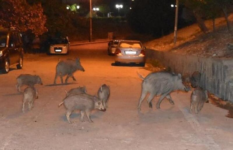 Domuzlar şehir merkezine indi