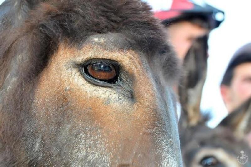 Nasreddin Hoca'nın memleketinde, en güzel gözlü eşek seçildi