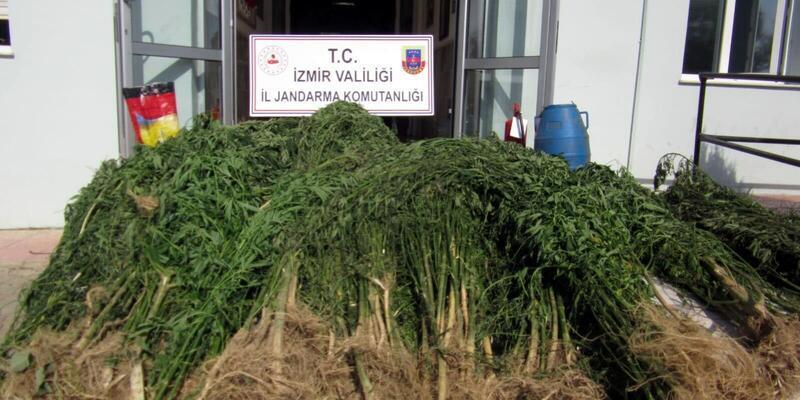İzmir'de, 2 bin 200 kök Hint keneviri ele geçirildi