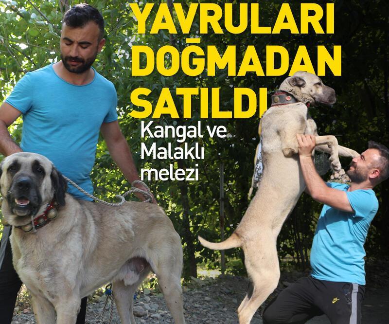 Son dakika: Anadolu çoban köpeklerinin yavruları doğmadan satılıyor